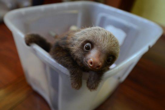 baby_sloth.jpg.size.xxlarge.promo